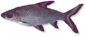 Haibarbe