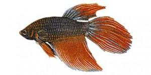 Kampffisch