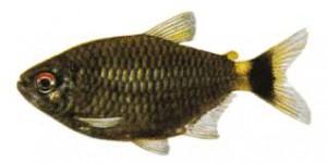 Moenkhausia