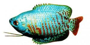 Zwergfadenfisch